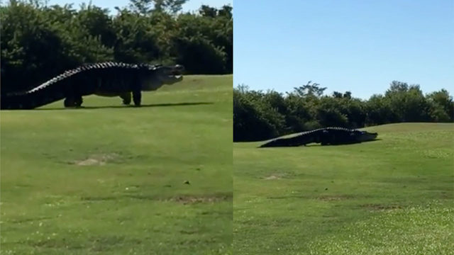 Giant 15 Foot Alligator Named Chubbs Reappears At Florida Golf Course